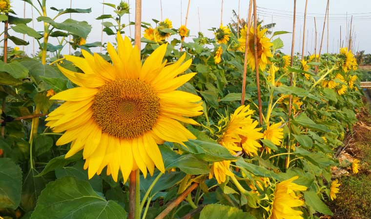 Sunflowers on the Machong Watertown Happy Farm (Credit: Carson Zhong)